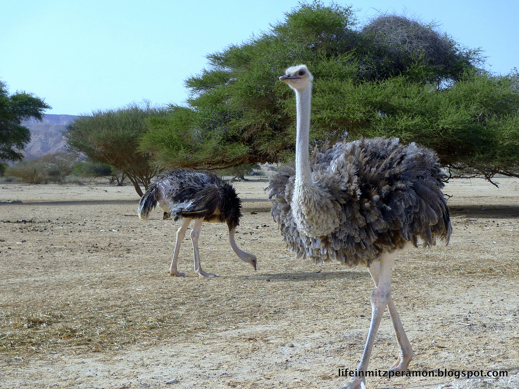 Klein Karoo Day Tours Oudtshoorn Ostrich